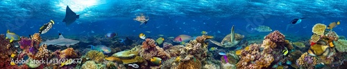 Fototapeta colorful super wide underwater coral reef panorama  banner background with many fishes turtle shark and marine life obraz