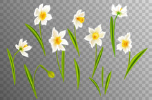 Narcissus. Vector Realistic Flowers. On A Transparent Background.