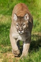 A Puma Coming Towards The Came...