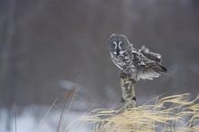 Female Great Grey Owl (Strix Nebulosa) On Tree Stump, Oulu, Finland, February 2009