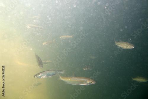 cavedano pesce di fiume risalita panaro modena italia