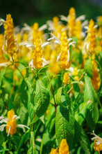 Bright Yellow Pachystachys Lut...