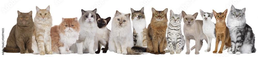 Fototapeta Große Katzengruppe mit mehreren Katzen nebeneinander sitzend