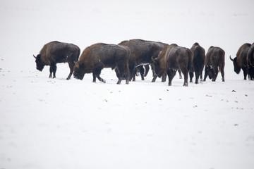 Wisente bei starkem Schneetreiben auf offenem Feld