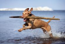Active Haired Vizsla Dog Playi...