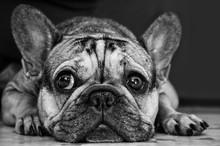 French Bulldog Lying On The Floor