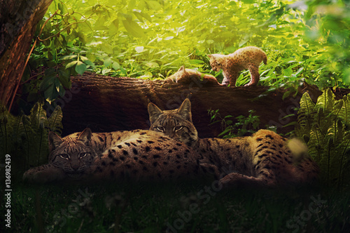 Foto auf Leinwand Luchs Lynx family in the forest