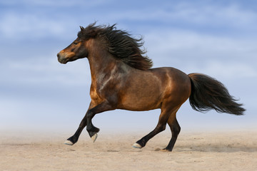 Bay pony with long mane run against blue sky