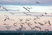 Seagulls Fly In Air.