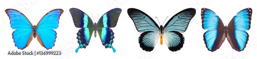 Valokuva  Set of four blue, beautiful butterflies isolated on white.