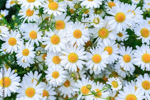 In de dag Madeliefjes Masses of daisies in the summer garden.