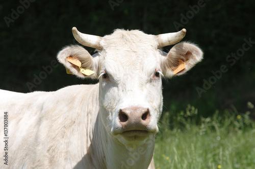 Papiers peints Vache vache charolaise