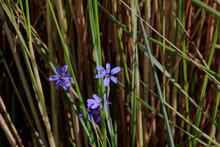 Blue-eyed Grass (Sisyrinchium Angustifolium) In The Wetland Of Sanibel Island, Florida, USA.