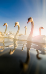 Group of swans on the river
