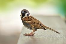 Eurasian Tree Sparrow Bird Sitting On Table Wood