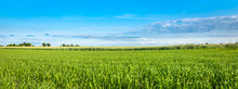 Landscape Of Cereal Field In Spring. Green Crops And Blue Sky, Panoramic View
