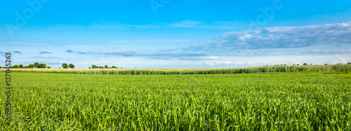 Fotobehang Cultuur Landscape of cereal field in spring. Green crops and blue sky, panoramic view