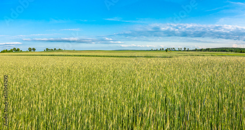 Poster Lime groen Field of cereal, countryside landscape of farming in Poland