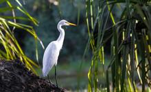 Great Egret In The Wetland, Ye...