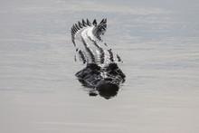 Saltwater Crocodile Swimming On The River Surface, Yellow Water, Kakadu National Park, Australia