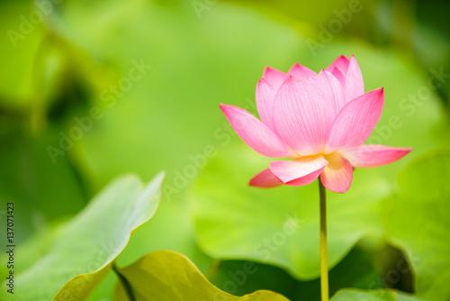 Foto op Canvas Lotusbloem lotus (연꽃)