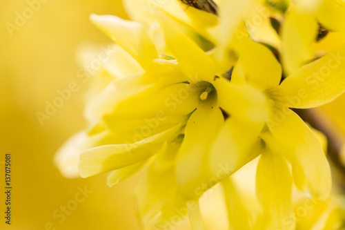 Fotografia blossoming forsythia shrub detail