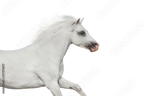 White beautiful pony portrait in motion isolated on white background
