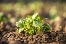 Young, Strong, Healthy Potato Plant Growing On Soil. Plant Close-up