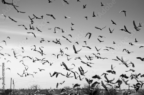 A flock of flying pigeons in the sky on the farm background
