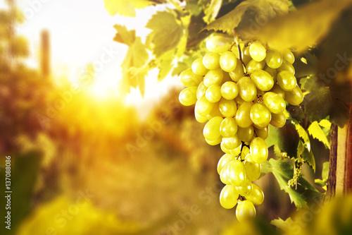Fotobehang Wijngaard grapes fruits