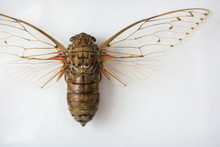 Dissected Cicada On A White Background.
