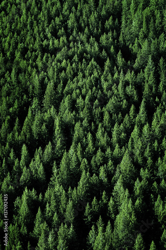 Forets Pine Trees in Forest Wilderness for Conservation