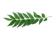 Curry Leaf Isolated On White Background