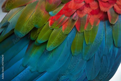 Photo  Green-winged macaw (Ara chloropterus)