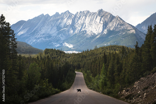 Fototapeta Grizzly bear walking in middle of road, Jasper National Park, Alberta, Canada, N