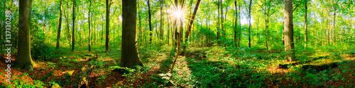 Fototapeten Wald Wald Panorama mit Sonnenstrahlen im Frühling
