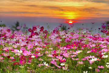 Obraz na SzkleCosmos Flower field on sun rise background,spring season flowers