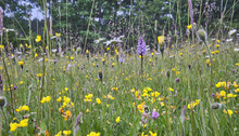 Wild Flower Hay Meadow In The Sussex High Weald