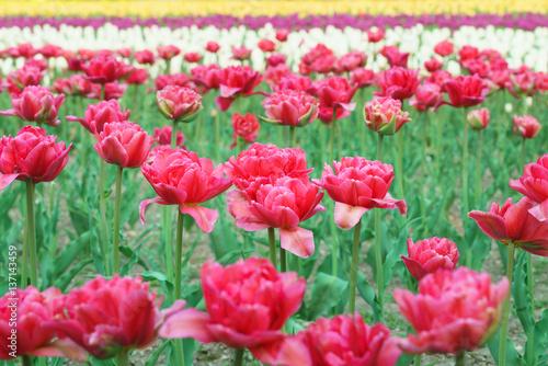In de dag Candy roze チューリップ (北海道上湧別町)
