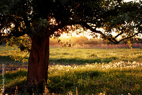 Fototapety, obrazy: The tree on background sunset field with dandelions