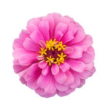 Pink Zinnia Elegans Isolated