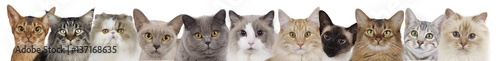 Different cats heads in a row Wallpaper Mural
