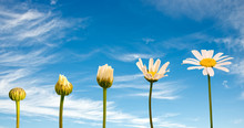 Stages Of Growth And Flowering Of A Daisy, Blue Sky Background, Life Concept