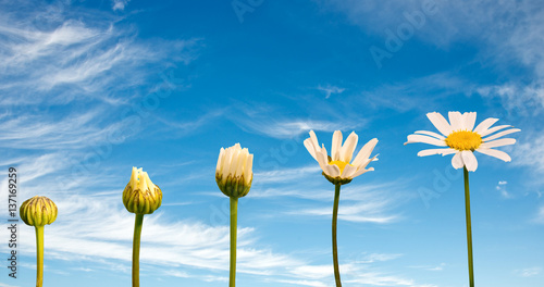 Foto op Canvas Madeliefjes Stages of growth and flowering of a daisy, blue sky background, life concept