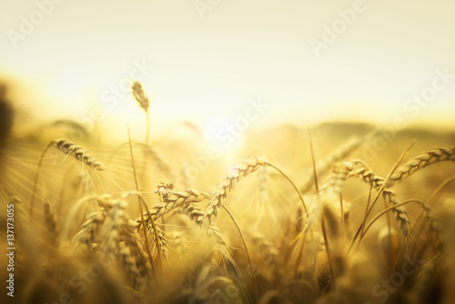 Spoed Foto op Canvas Natuur Wheat in early sunset