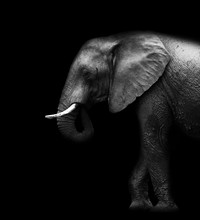 Elephant Isolated Black Background