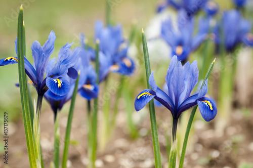 Foto op Canvas Iris Iris flowers (Iris pumila) in the grass at spring