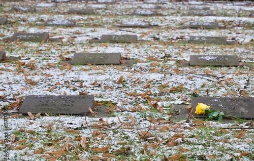 Cuadros en Lienzo  Single yellow rose lying on commemorative stones