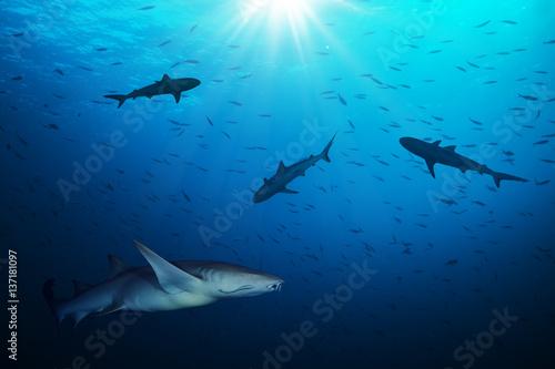Obraz na dibondzie (fotoboard) Grupa rekinów łowiących ryby smalls