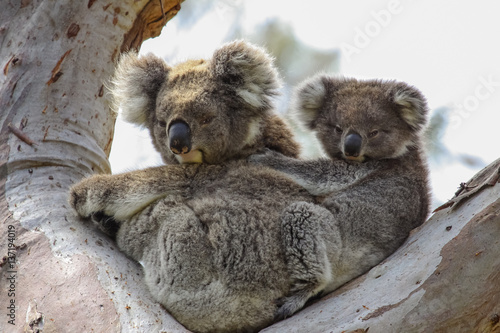 Garden Poster Koala Koala mother with baby joey on its back sitting in a eucalyptus tree, facing, Great Otway National Park, Victoria, Australia